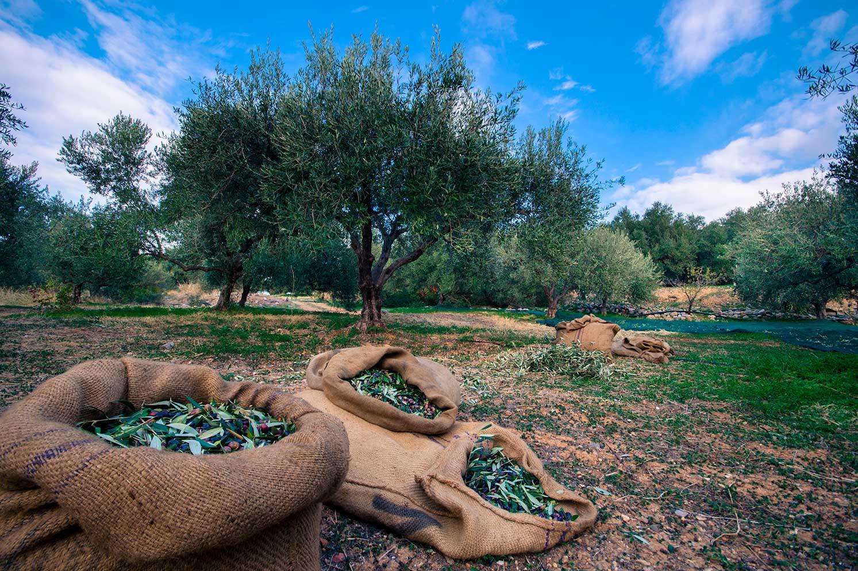 Olio Pugliese | Vivere esperienza in puglia | Live an experience in Puglia